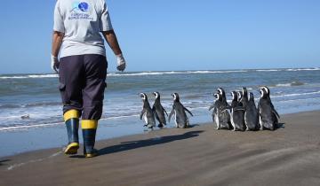 Imagen de Regresaron al mar a 12 pingüinos rescatados en distintos puntos de la Costa Atlántica